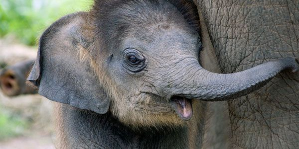 Protect elephants from the horrific practice of Phajaan