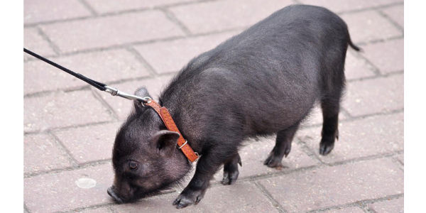 Canada, Don't Take Away Family's Pet Pig!