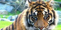 India - Charge Man Who Poaches & Kills Tigers To Sell the Skins & Body Parts!!! Deny Bail!!