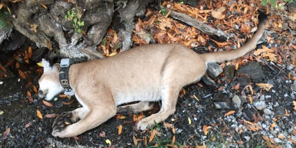 poisoned mountain lion
