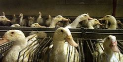 Say No to Foie Gras