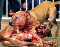 Stop Dog Fighting Now