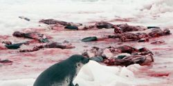 BAN Canada's Annual Seal Slaughter