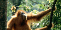 SUMATRAN ORANGUTAN IS IN DANGER BECAUSE PEOPLE ARE STEALING IT'S HABITAT