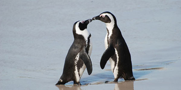 Save the African Penguin