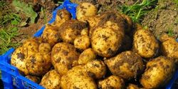 Stop GM potato trials in Ireland