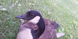 STOP SCARSDALE VILLAGE FROM KILLING GEESE IN LIBRARY POND