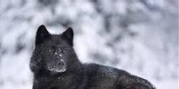 Urge Feds to Enlist Rare Alaska Wolf as Endangered Species!