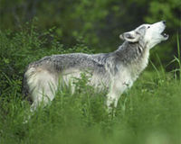Support a National Wolf Recovery Plan