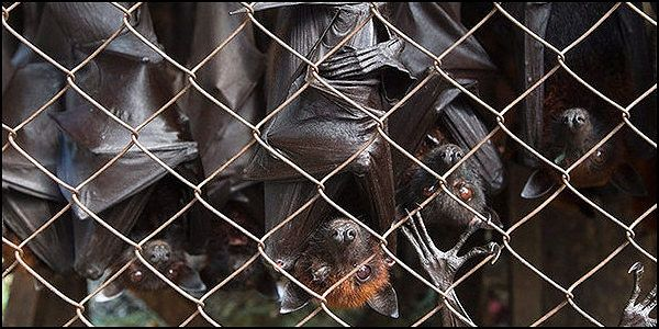 Ban the Sale of Fruit Bats by Indonesian Street Vendors