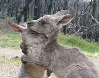 Joeys like this one have no chance of survival once the Mother kangaroo has been shot.