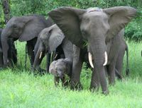 No Oil Drilling in Forest Elephant Corridor