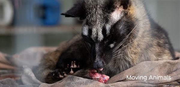 Civet licking injured tail