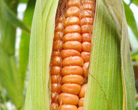 Take GM Corn off the Shelves!