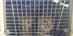 Release 3 Wild Cheetah Cubs back to Mara Conservancy for Rehabilitation in the Wild