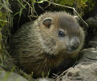 Tell Wisconson- Stop Plans for Groundhog Killings