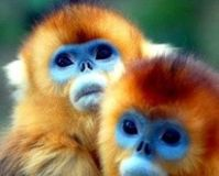 Save Golden Snub-Nosed Monkey