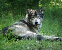 Support Protections for Pacific Wolves