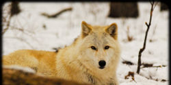 Tell B.C. Government: Don't Kill Wolves!