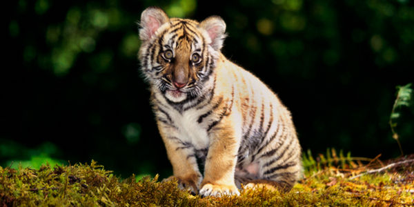 Tell the USDA: Protect Baby Tigers, Lions and Other Wild Animals