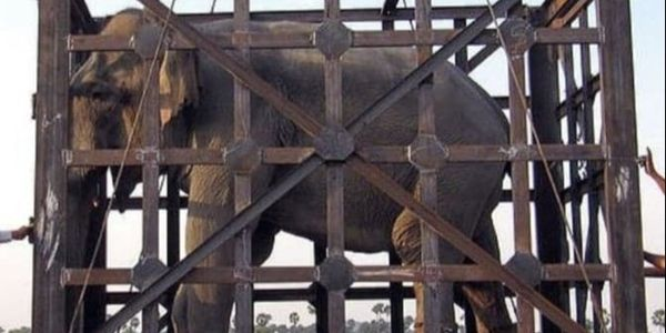 Elephant in cage