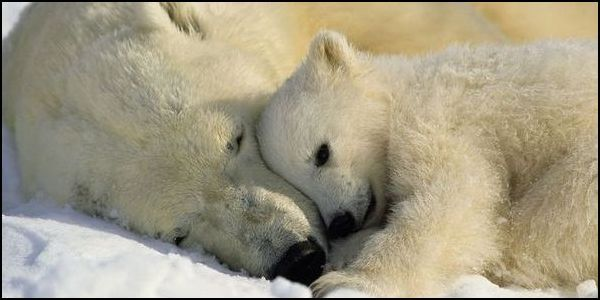 Ban Pesticide Deadly to Polar Bears