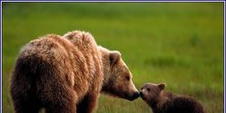 Save the Grizzly Bears In Alberta