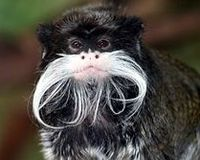 Save the pure Emperor Tamarin in Wild