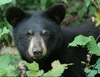 Help Stop Bear Baiting in South Carolina