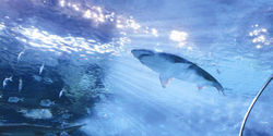 Toronto should not permit the import of sharks from the wild for Ripley's Aquarium 2013
