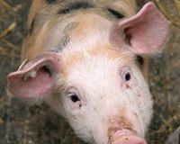 Punish Farmer who Starved 1300 Piglets