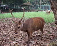 Save the Bawean Deer