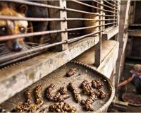 Indonesia- Stop Civet Cruelty
