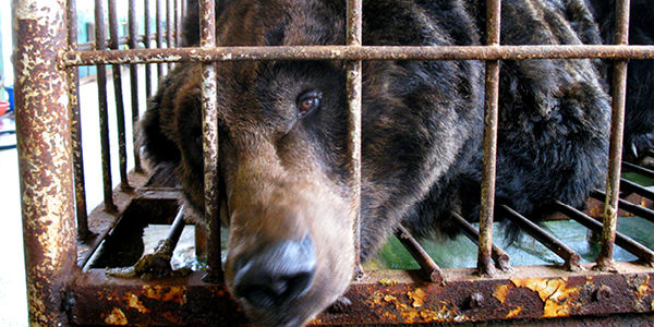 Stop Bear Bile Farming In China
