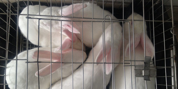 Bunnies trapped in a cage to be used for animal testing
