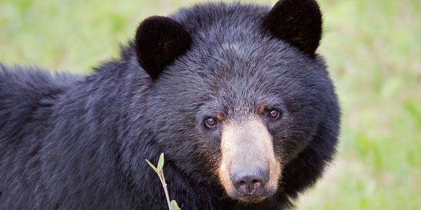 Ban Bear Baiting Competitions