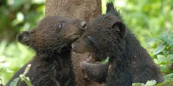 Prohibit Trade of Black Bear Organs in All States