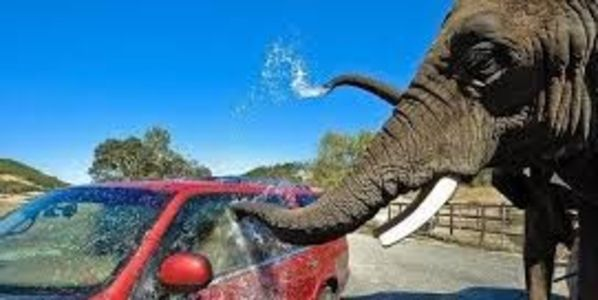Elephant washing a car
