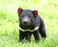 Stop Plans for Tasmanian Devil Culling