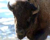 Demand Protection of Yellowstone's Bison!