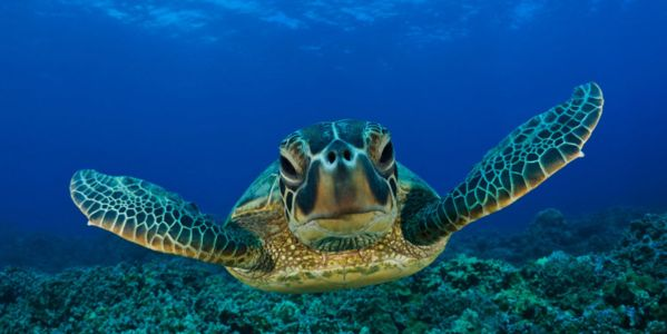 Protect the Kemp's Ridley Turtle from Habitat Loss!