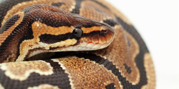 Stop the Import of Destructive Exotic Snakes