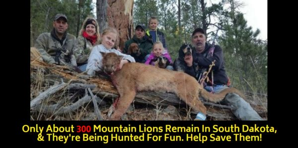 Murdered mountain lion, Care2 petition