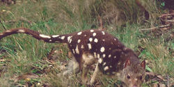 Save the last stronghold of the endangered Spotted-Tailed Quoll