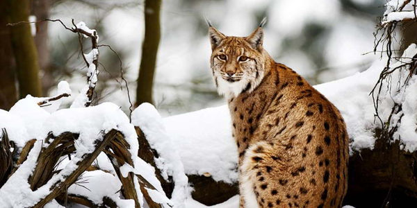 Thank Judge for Protecting Critical Lynx Habitat