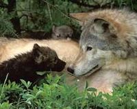 Colorado Needs Wolves, and Wolves Need Colorado