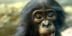 Save the Chimpanzees of Cameroon from Extinction