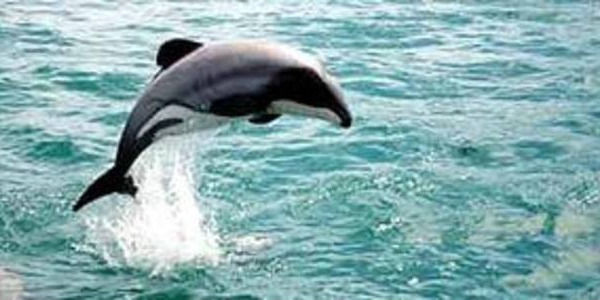 Save Rare Maui's Dolphins in New Zealand
