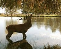 No to the announced UK deer cull