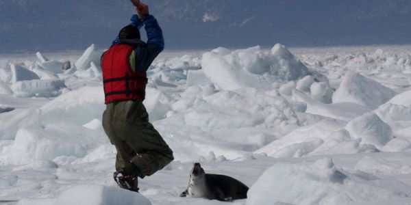 Save Seals: Join the Canadian Seafood Boycott